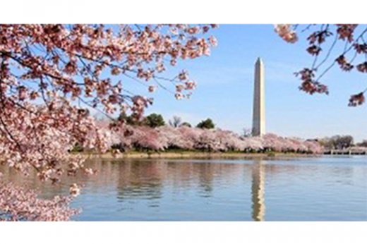 Blooming cherry blossoms with the Washington Monument in the background.