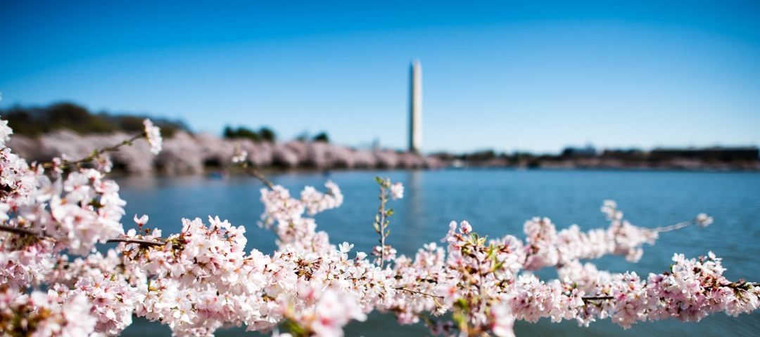 photo - Cherry blossoms at the Tidal Basin in Washington, D.C.